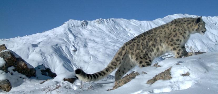 Snow Leopard Facts - Snow Leopard Trust