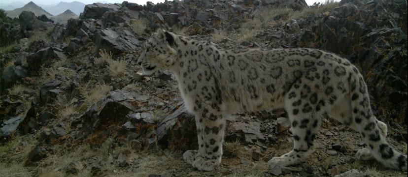 Habitat - Snow Leopard Trust
