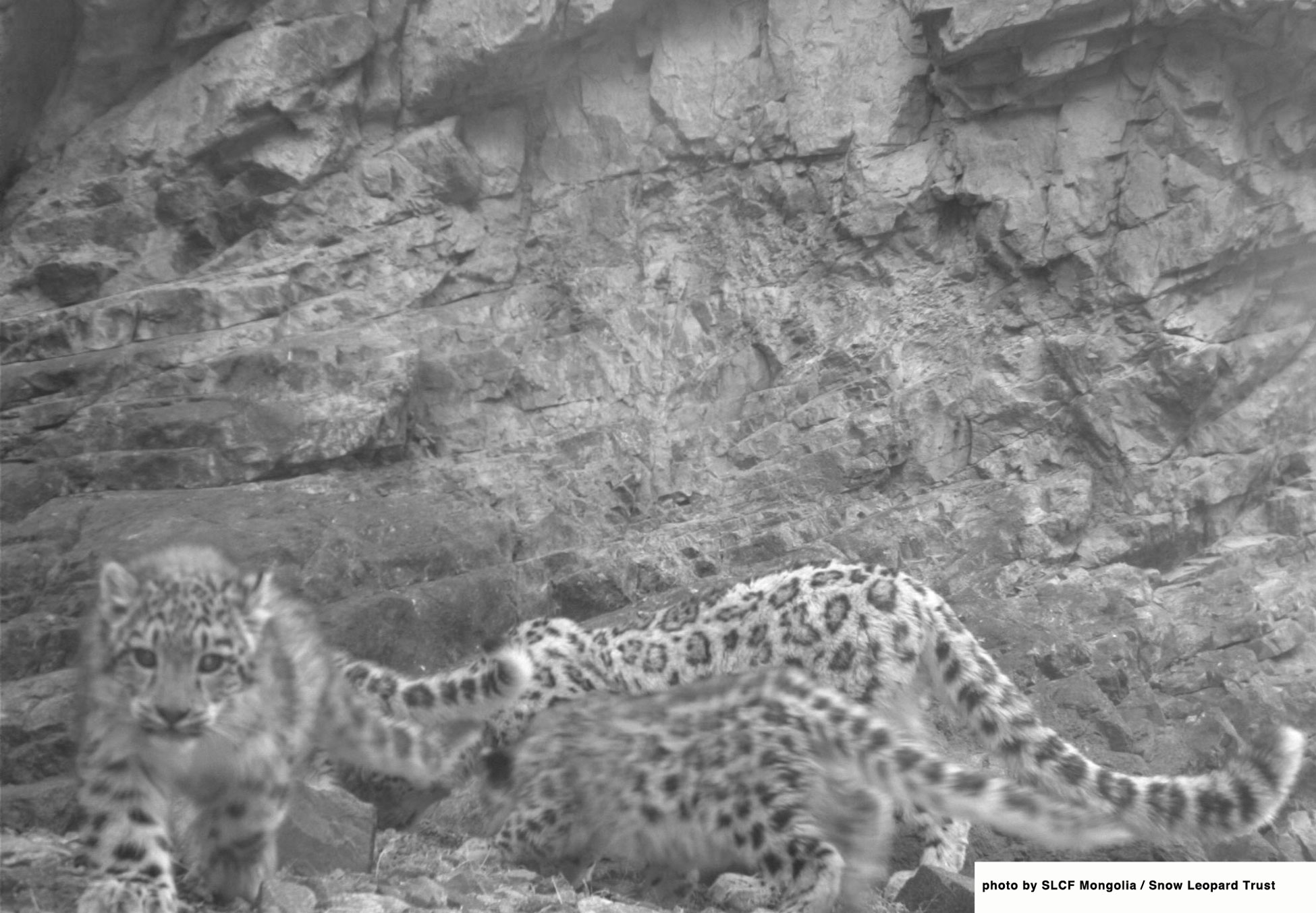 Early risers! A snow leopard mother with 3 cubs