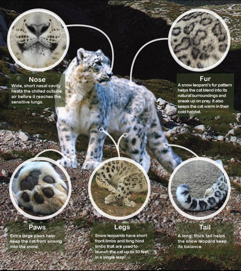Physical characteristics of a snow leopard