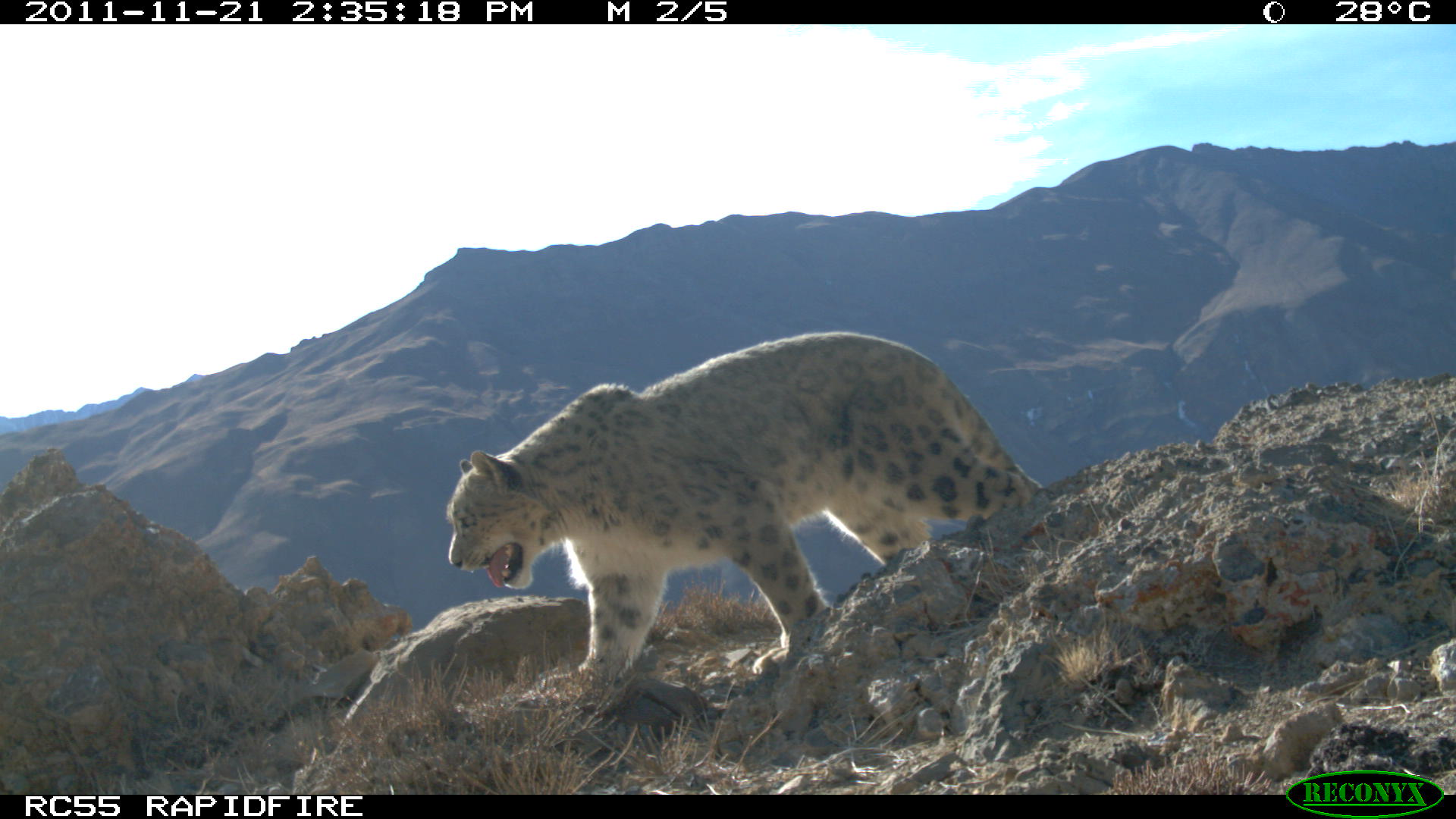 a snow leopard roaming India's Himalayas