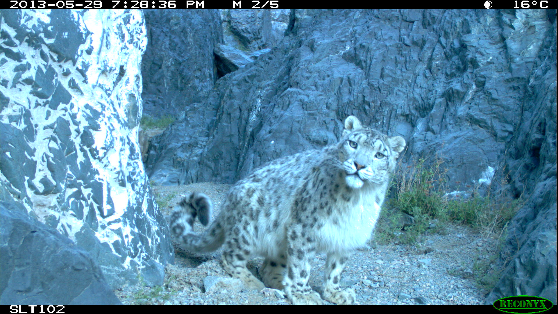 one of up to 250 snow leopards SLE is protecting in Mongolia