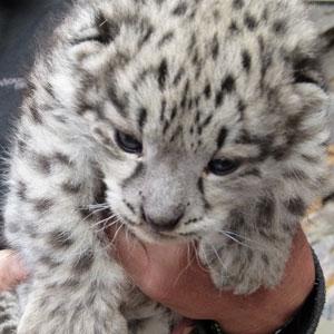 Lasya's cub