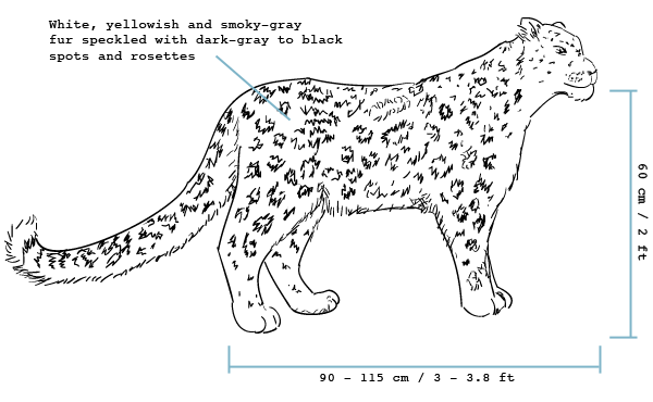 descriptive and behavioral aspects of snow leopards Follow video exceptional hunters snow leopards are not only one of nature's best hunters they are also masters of disguise one indian snow leopard.