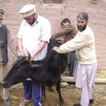 Vaccinating livestock in Pakistan