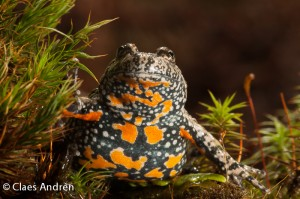 the fired-bellied toad