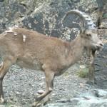 Ibex in Mongolia