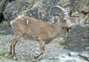 Ibex in Mongolia