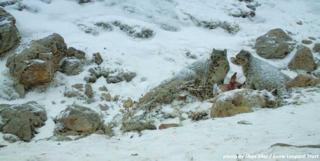 Menu du Jour: Wild Blue Sheep OR Domestic Yak