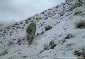Snow Leopard in Khunjerab
