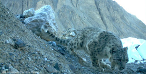 A snow leopard in Khunjerab National Park