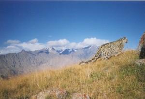 A Snow Leopard in Kyrgyzstan