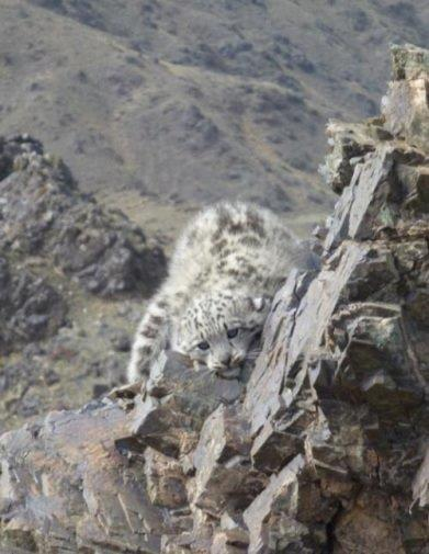 a snow leopard cub encountered by our research team in Mongolia