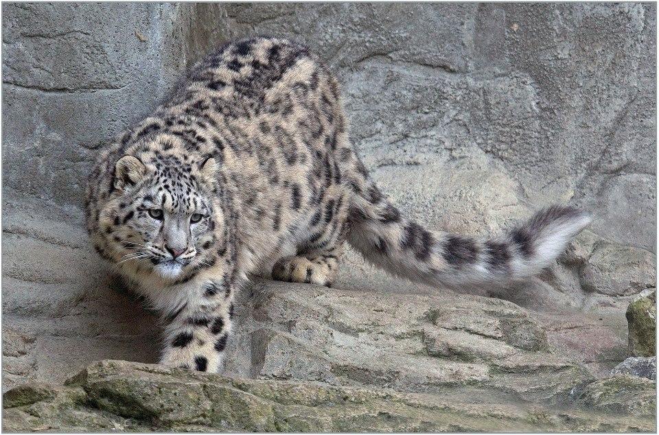 Leopards diet - photo#8