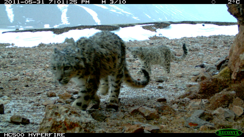 a snow leopard mother and her cub, China
