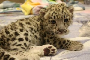 Niko, Tulsa's adorable cub