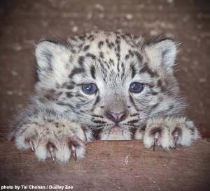 Dudley Zoo's newborn cub