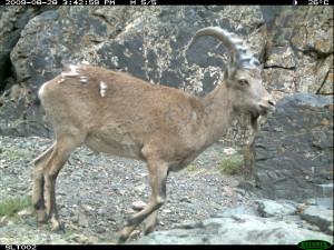 a Mongolian ibex
