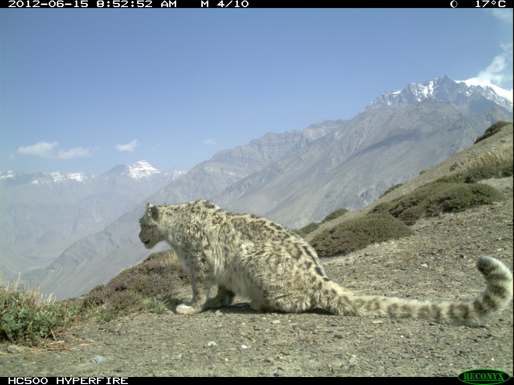wild snow leopard in India