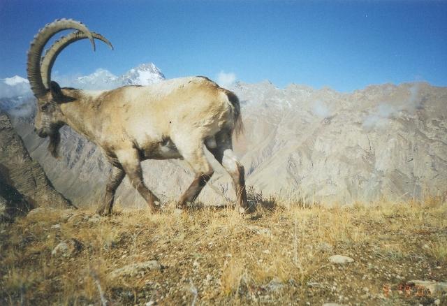 kyrgyz ibex