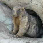 a Kyrgyz marmot