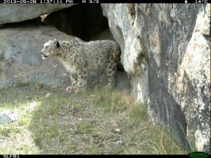 Misgar Snow Leopard