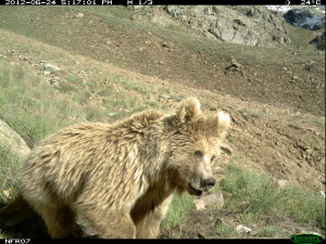 a brown bear caught by a research camera in Broghil NP, Pakistan