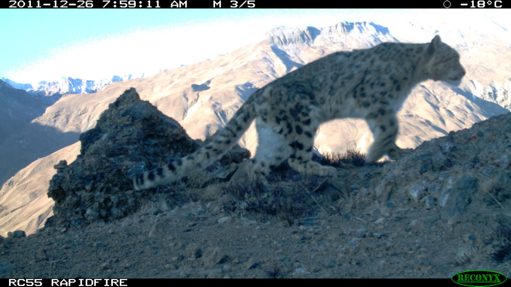 a wild snow leopard roaming Peter Matthiessen's beloved Himalayas