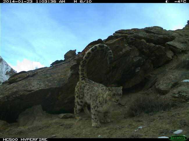 a snow leopard in Sarychat Ertash Reserve