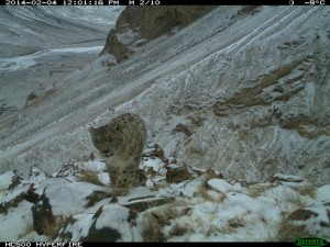 a snow leopard roaming Kyrgyzstan's Sarychat-Ertash Nature Reserve
