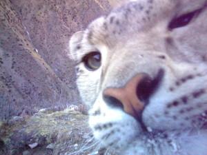 Snow Leopard_20131227_CAM43080_Zhajiang_1