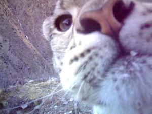 Snow Leopard_20131227_CAM43080_Zhajiang_2