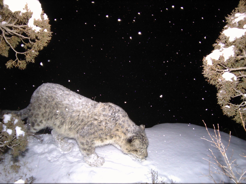 a snow leopard captured by a research camera in China