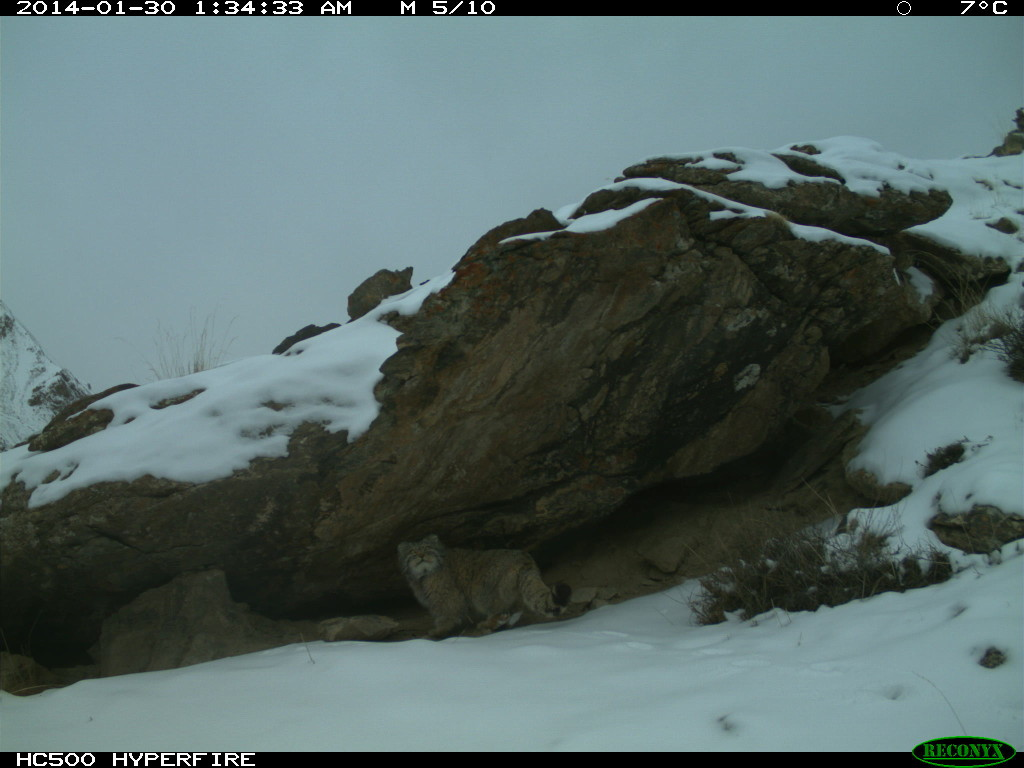 A Pallas' cat in Sarychat-Ertash nature Reserve, Kyrgyzstan
