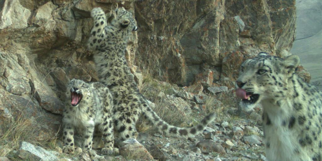 a snow leopard family in Kyrgyzstan