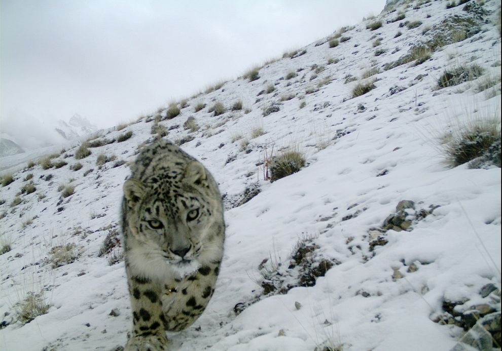 Out of the Cage at Last: Snow Leopard Cub Taken From Wild Gets New ...