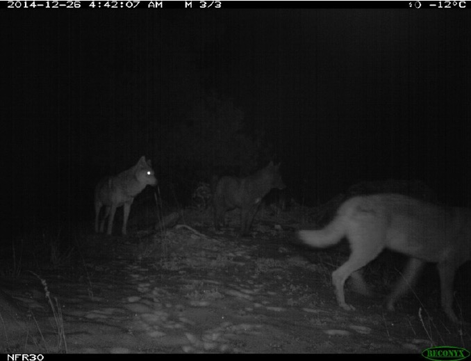 research papers on wolf in pakistan
