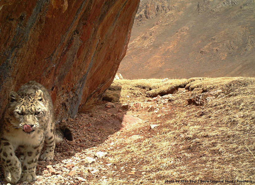 Snow leopard sightings seem to be on the uptick in China