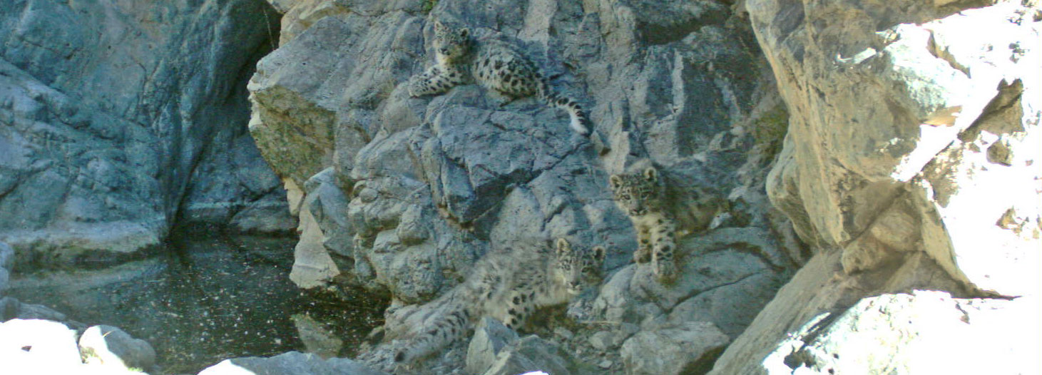 Three tiny snow leopard cubs, captured by a research camera in Mongolia