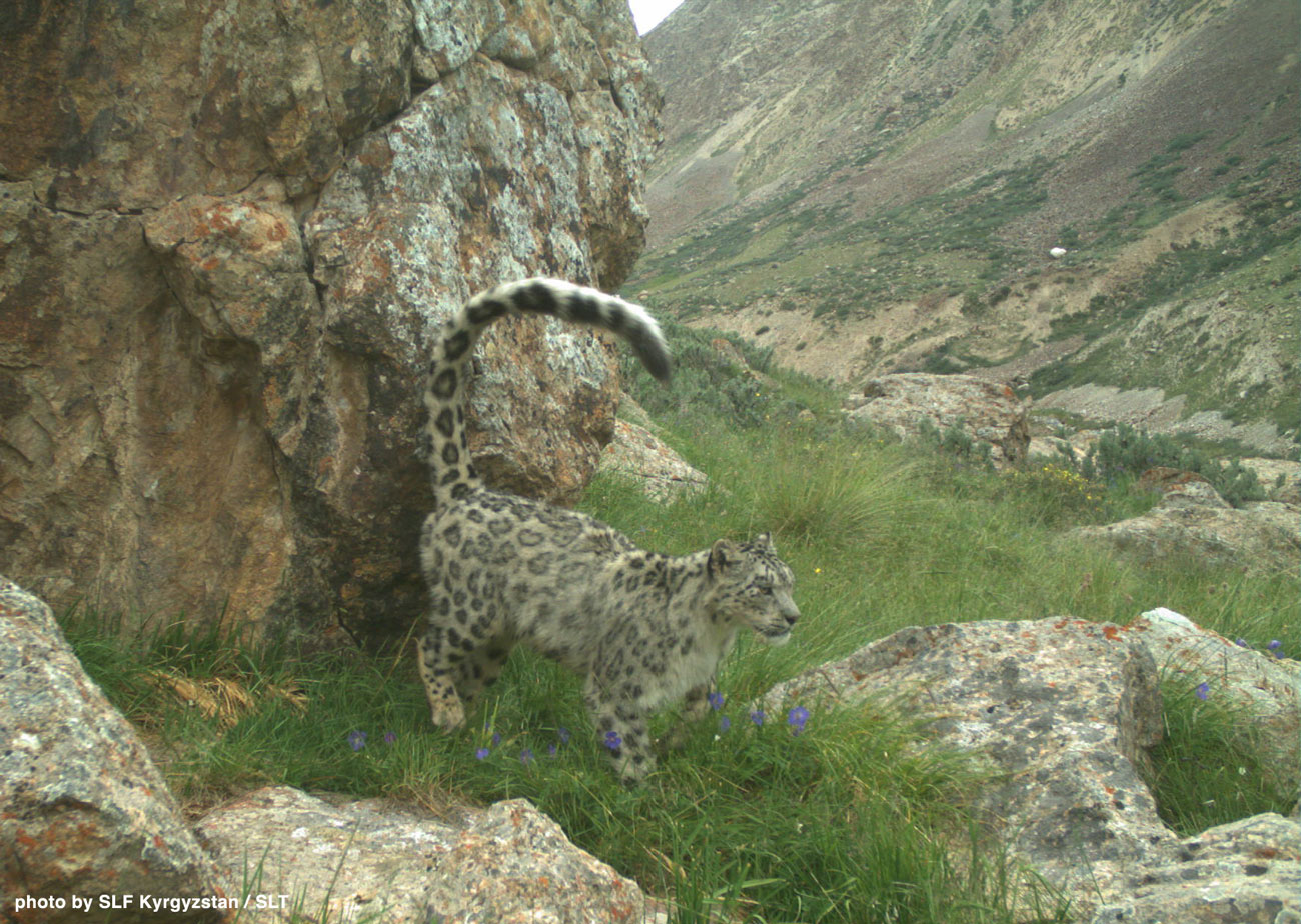 snow leopards and their prey are threatened by poaching in Central Asia