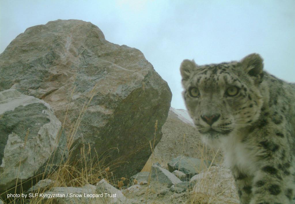 Kyrgyzstan-cat-web-2015-2