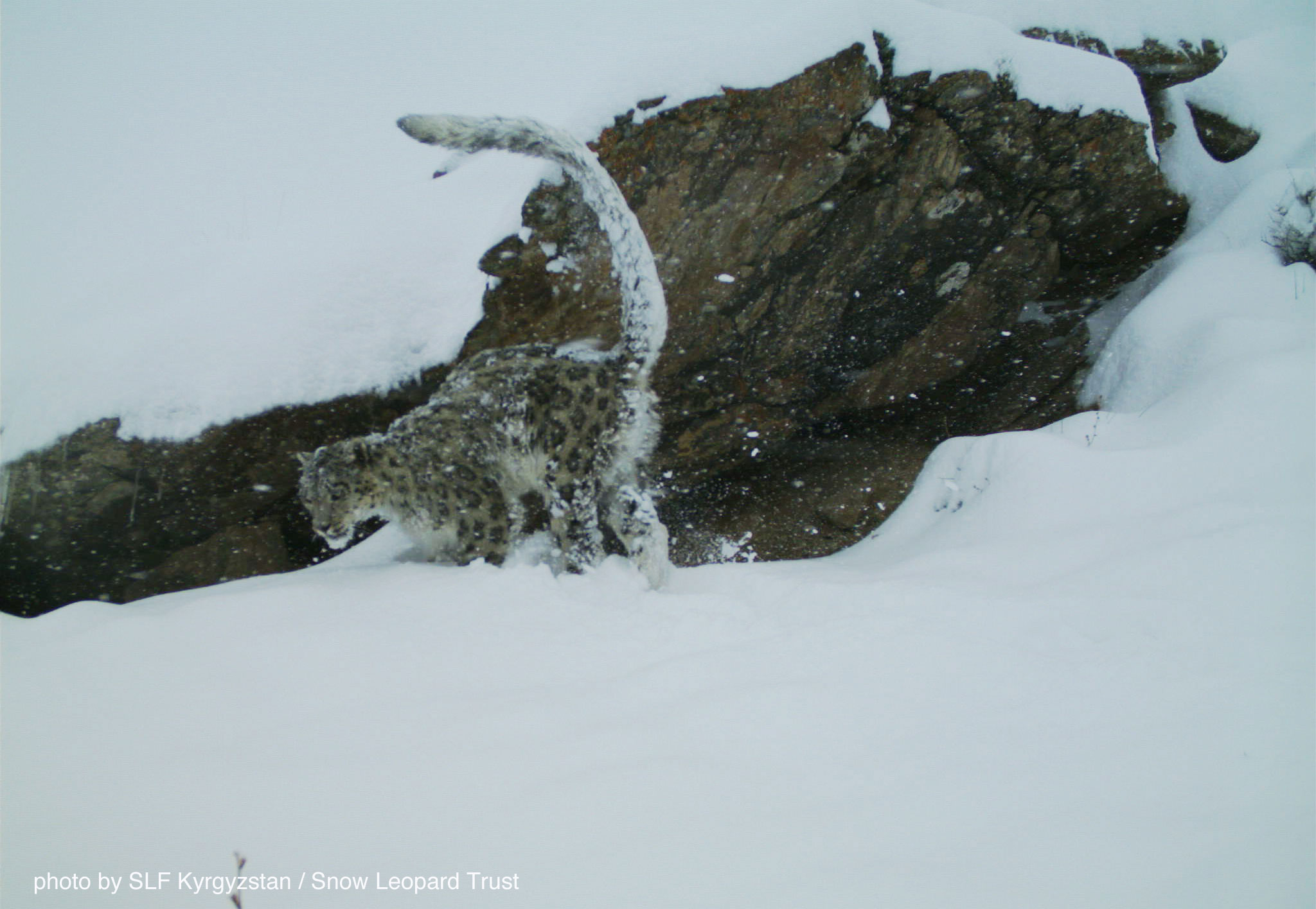 A snow leopard in Kyrgyzstan's Sarychat Ertash reserve is marking its territory. Photo: SLF Kyrgyzstan / SLT