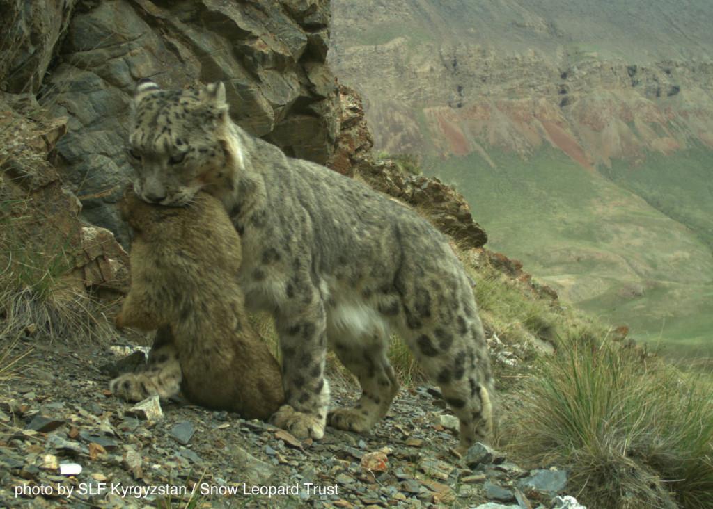 A wild snow leopard in Kyrgyzstan has caught a marmot. Photo: SLF/SLT