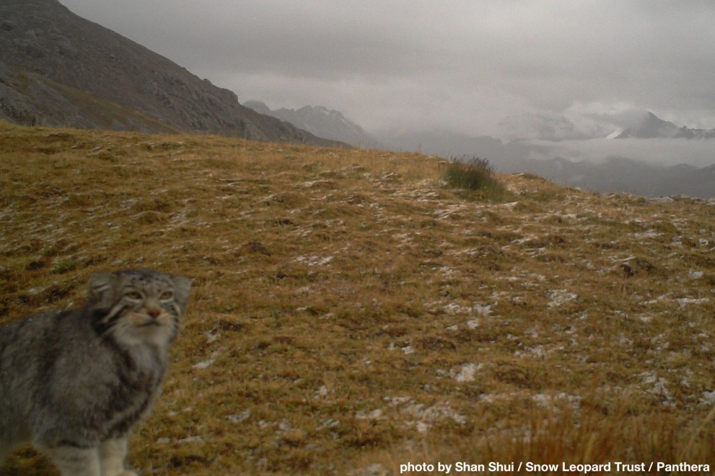 The mysterious feline pops up on research cameras in places as far apart as China's Qinghai provice...