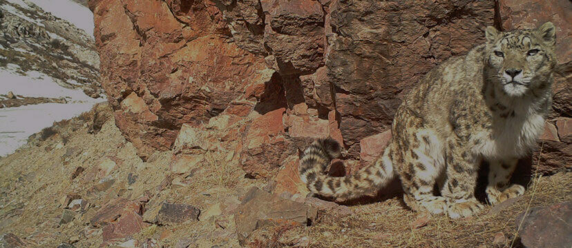 Tackling Illegal Trade and Poaching of Snow Leopards - Snow