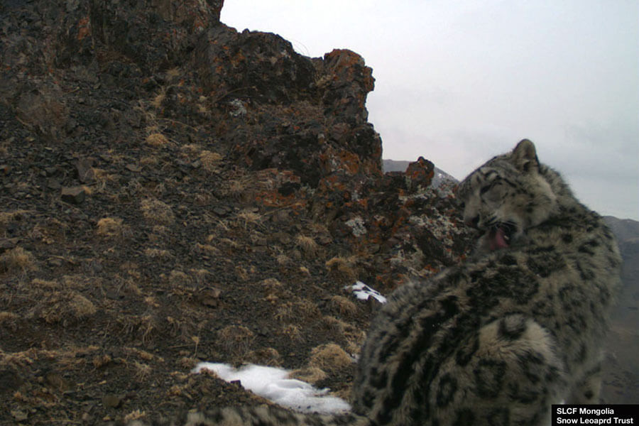One of the snow leopards of Gurvan Saikhan National Park is grooming in front of a research camera.